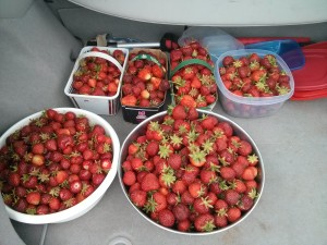 Some of Open Sky's strawberries